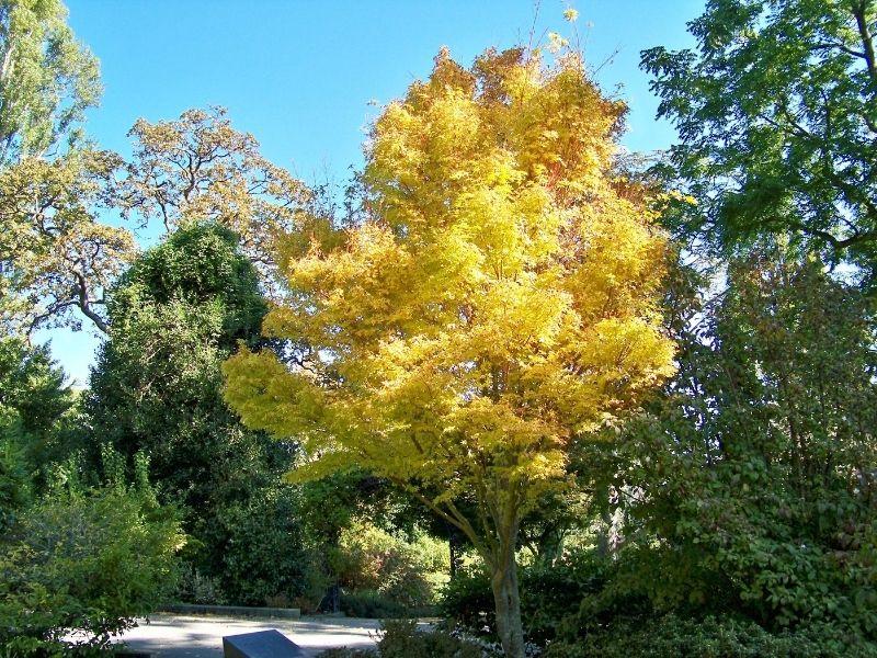 Feature tree idea for your backyard or garden - Acer Palmatum Senkaki