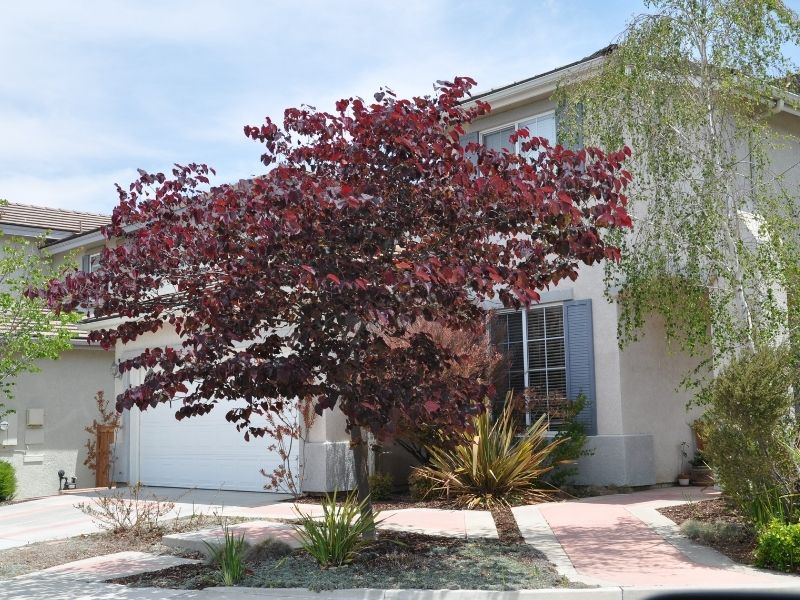 Feature tree idea for your backyard or garden - Cercis Forest Pansy