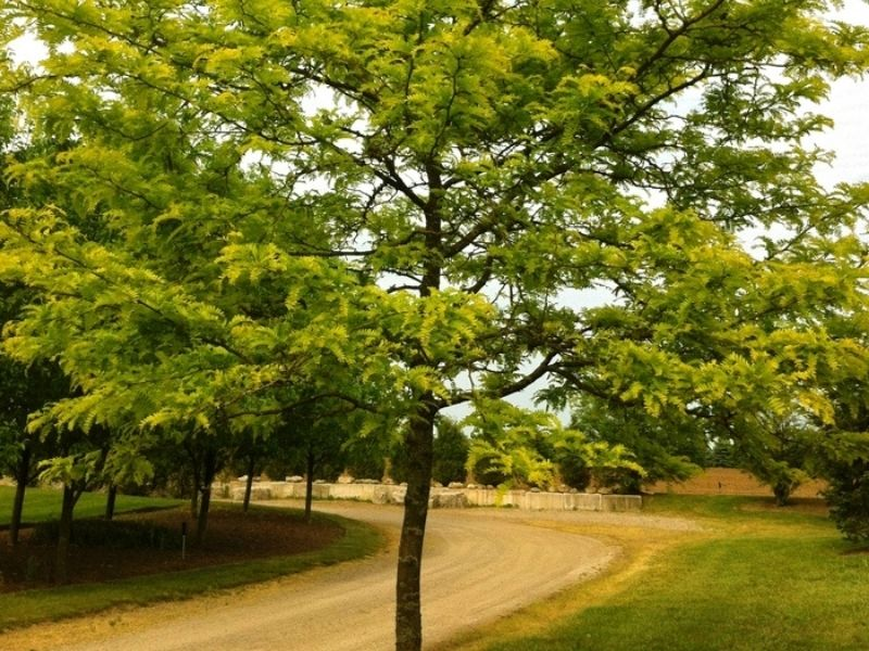 Feature tree idea for your backyard or garden - Gleditsia Sunburst