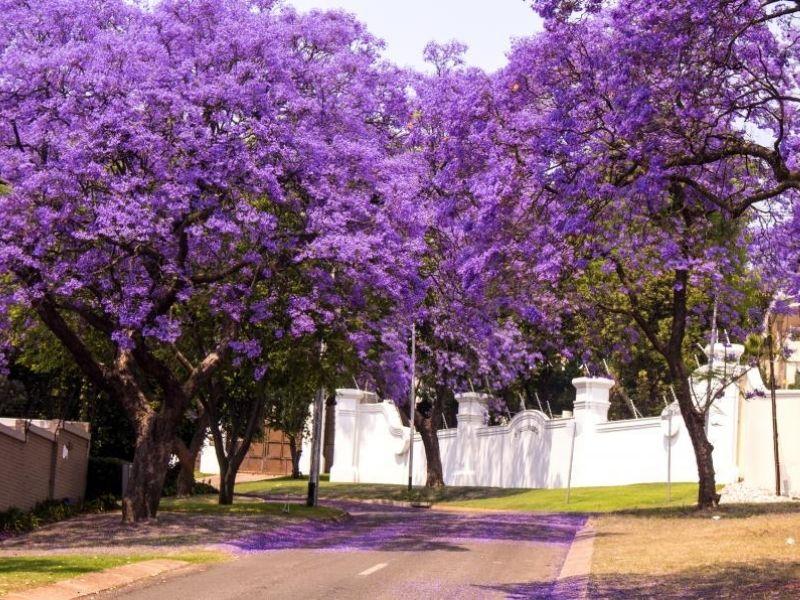 Feature tree idea for your backyard or garden - Jacaranda Mimosifolia